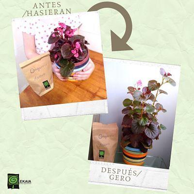 Como mejora una begonia con abono orgánico ecológico- Ekaia Eko Compost
