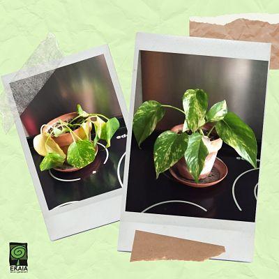REcuperar-una-planta-con-abono-organico-Ekaia-Eko-Compost