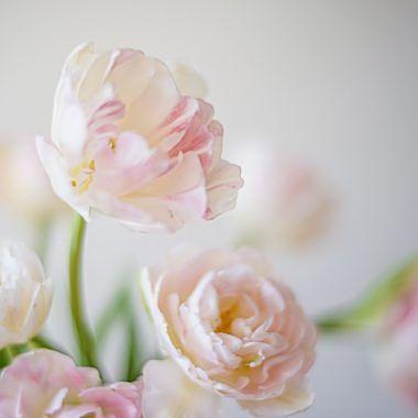 Tulipan-doble-Floritismo