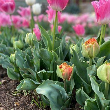 Ekaia shop tulipan-doble-deshilachado Ekaia floritismo